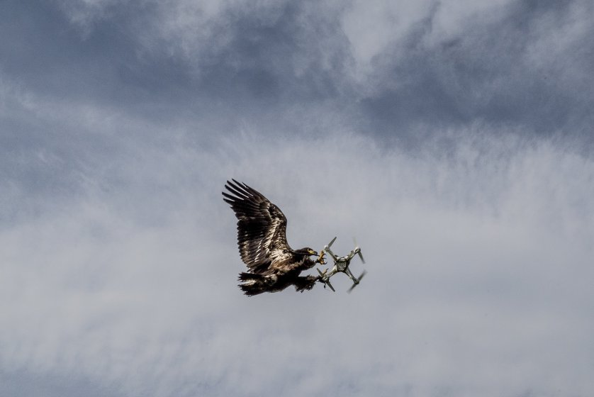 An eagle from Guard From Above, a security company training eagles to intercept drones, tackles a drone in the air, in Katwijk, Netherlands.