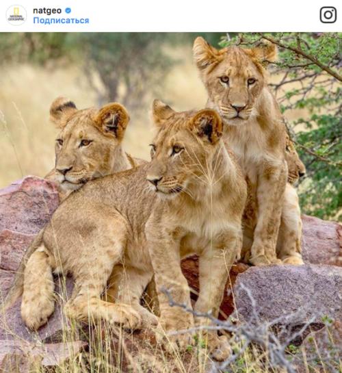 Львята, Instagram natgeo