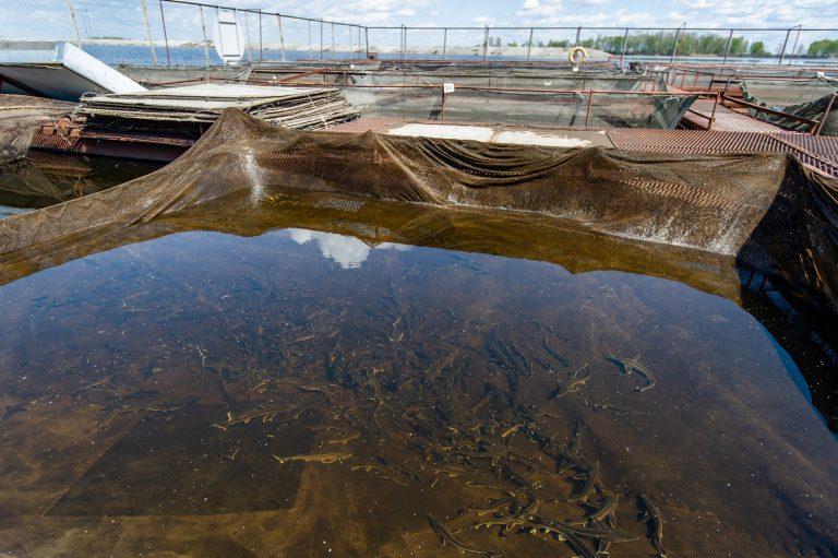 На ферме рыба живет в природных условиях, но на ограниченной сеткой территории