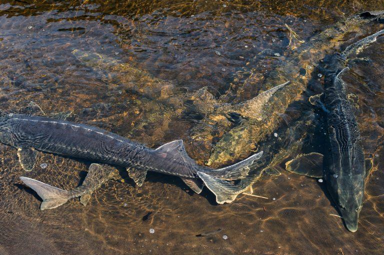 Bester производит классическую аквакультурную икру выращенной в неволе рыбы
