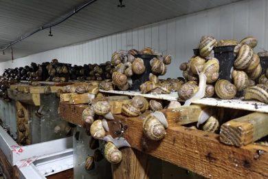Скуштували у Греції равликів і почали вирощувати їх біля Львова. Як подружжя заробляє на екзотиці