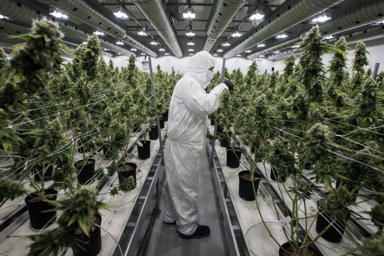 «Если не дунуть, чуда не будет». Зачем Украине легализовать марихуану?