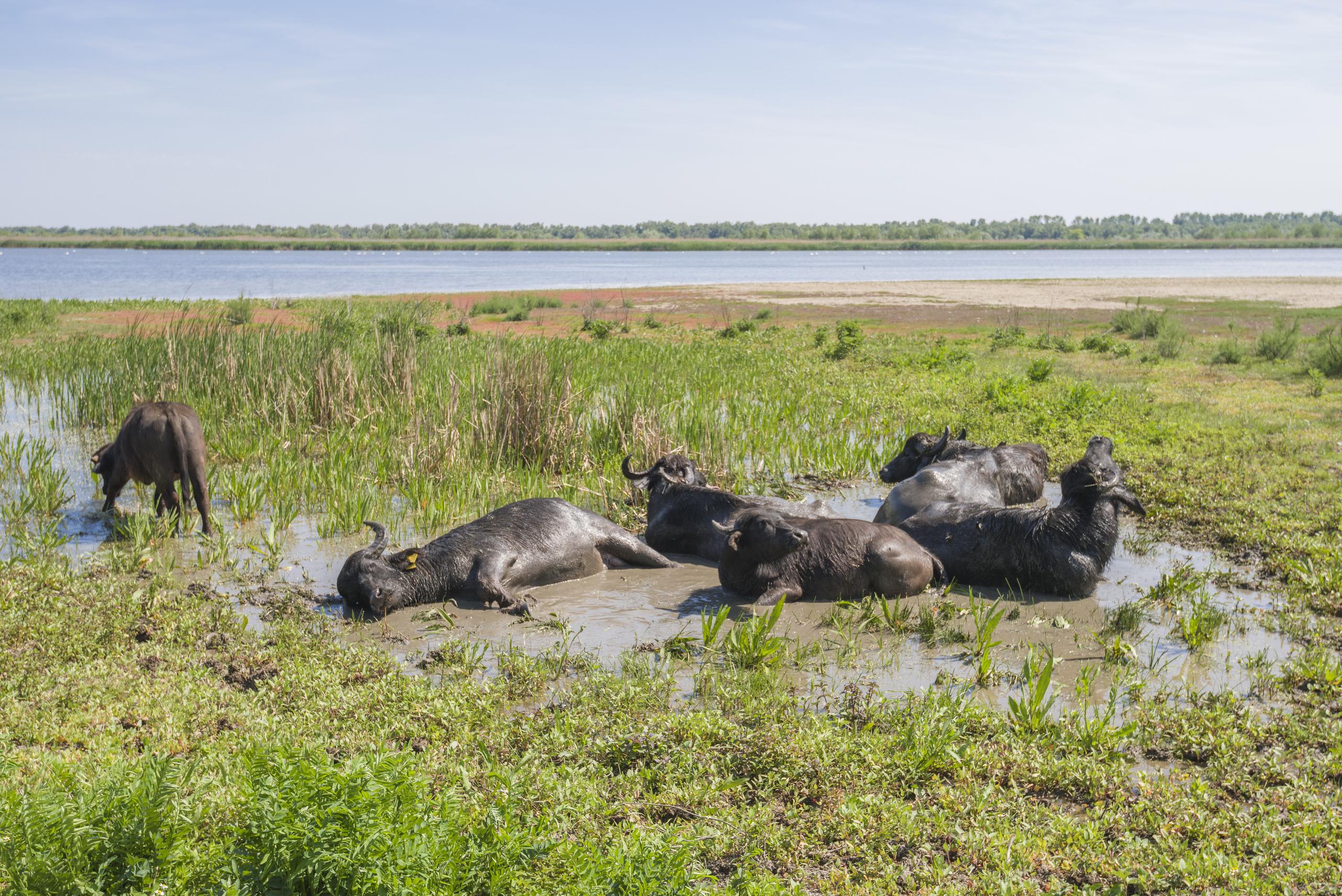 Стадо буйволов лежит в луже на затопленном лугу. Водяной буйвол (Bubalus bubalis bubalis)