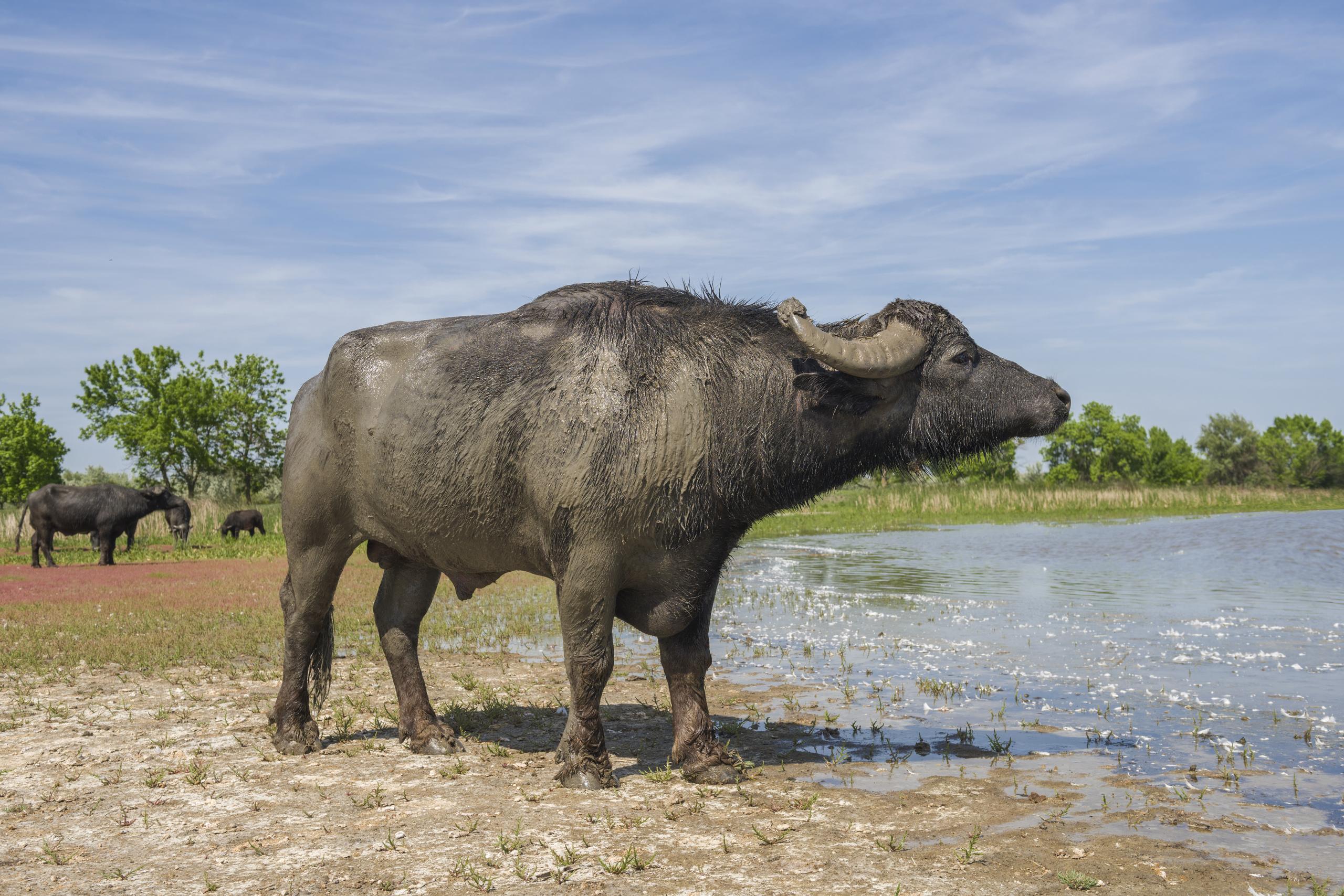 Буйвол идет по затопленным лугам. Водяной буйвол (Bubalus bubalis bubalis)