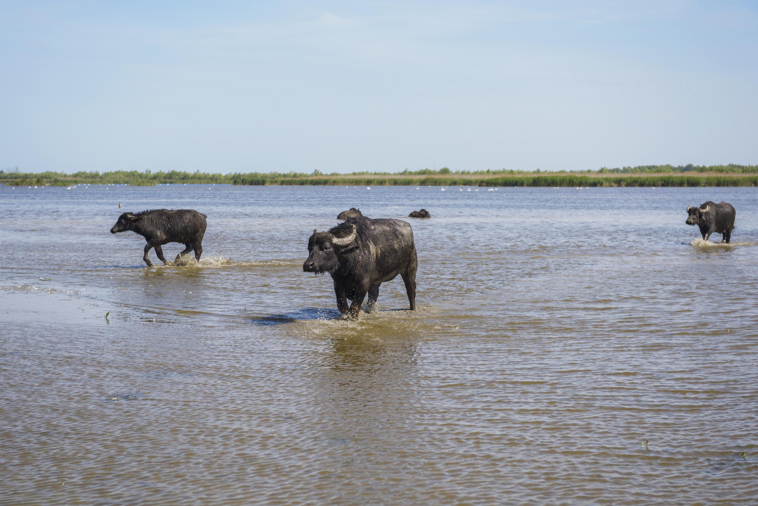 Буйволы идут по затопленным лугам. Водяной буйвол (Bubalus bubalis bubalis)