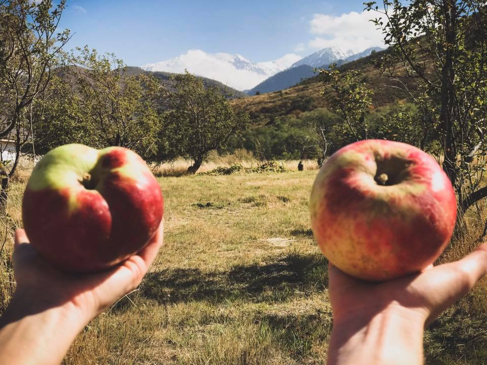 Яблоки сорта «апорт». Фото из группы @almatyaport